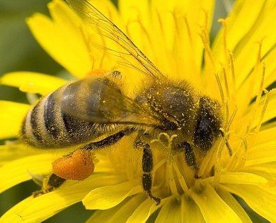 Лечение простатита пчелиным подмором: рецепты, отзывы